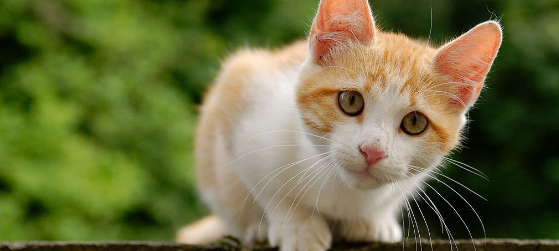 Süße Katze. Foto: Marie-Lan Nguyen (CC-BY 2.5) via Wikimedia Commons